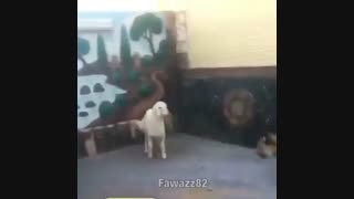 نبرد گوسفند با ببر