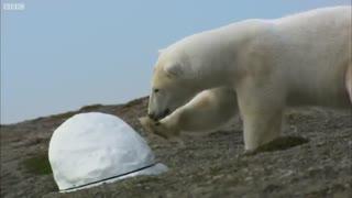 لحظه تخریب دوربین مخفی شبکه BBC توسط خرس قطبی