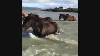 اسب ها در عبور از رودخانه