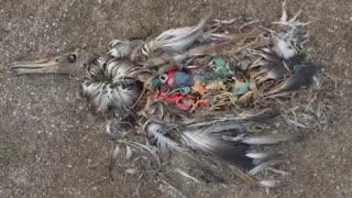 پرندگانی که با خوردن پلاستیک میمیرند