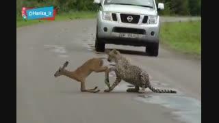 شکار آهو وسط جاده