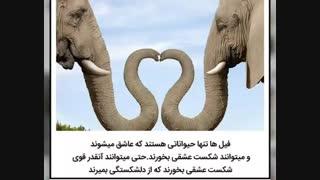 فیل های عاشق ♡_♡ :::/// دانستنی...