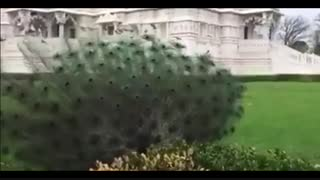 لحظه ی فوق العاده باز شدن پرهای طاووس !