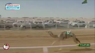 هیجان از نوع مسابقات شترسواری