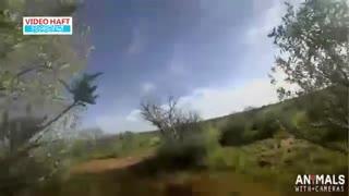 حس واقعی شکار با دوربین نصب شده روی یوزپلنگ