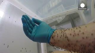 روش تغذیه پشه ها در آزمایشگاه