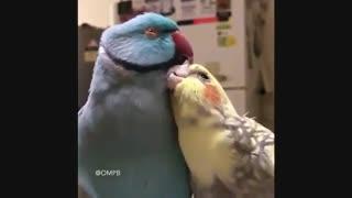 طوطی های عاشق