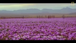 تولید زعفران  در خراسان