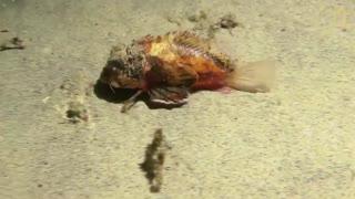 گونه جدید ماهی که در کف دریا راه میرود
