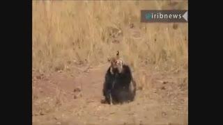 نبرد خرس و ببر