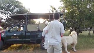 وارد شدن شیر نر به داخل ماشین سافاری