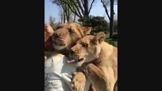 ابراز دلتنگی شیرها به دوستشون
