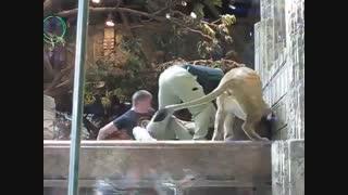 حمله شیر به یکی از کارکنان باغ وحش