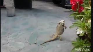 سبک دویدن بامزه مارمولک Bearded dragon