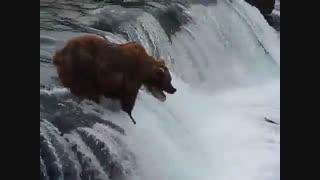زیباترین فیلم حیات وحش خرس