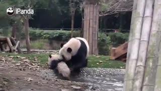 حمام کردن پاندای کوچک توسط پاندای مادر