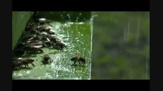 وقتی  زنبورهای عسل با باران غافلگیر می شوند!