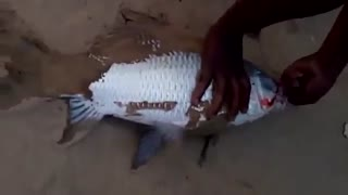 ماهیگیری کپور