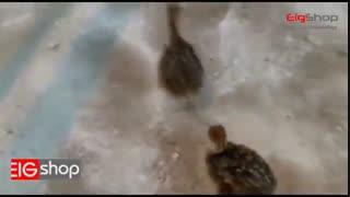 جوجه کشی و پرورش شترمرغ با دستگاه جوجه کشی شترمرغی اسکندری قسمت دوم