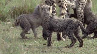 مستند گربه های آفریقایی