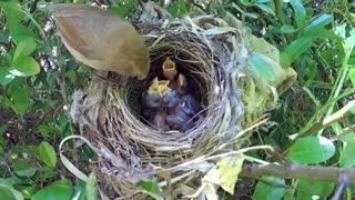 فیلم مستند تخم گزاری و غذا دهی در لانه زیباترین  پرنده جهان در حیات وحش