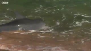 ماهی گیری دلفین ها در ساحل (کی باور میکنه)