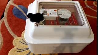 دستگاه جوجه کشی و مرغ لاری