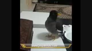 مرغ مینای سخنگو