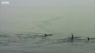 حمله کوسه به خانواده دلفین ها
