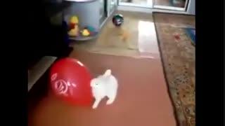 زهره ترک شدن خرگوش