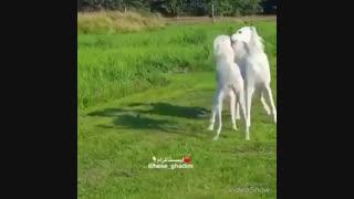 بازی دو سگ خوشگل