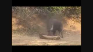فیلم مستند  حمله شیر به بوفالو در حیات وحش افریقا که شیر بعد از شکست و لت و پار شدن از بوفالو باز هم از رو نمی رود