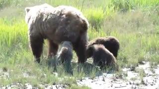 خرس های قهوه ای آلاسکا