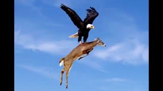 حملات عقابهای غول پیکیر به حیوانات  بزرگتر از خود  در حیات وحش