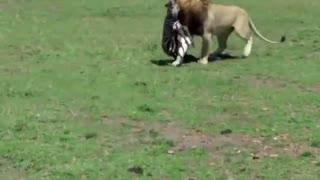 حمله شیر به گورخر تازه متولد شده
