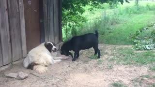 شاخ و شونه کشیدن بز برای سگ!