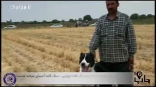 بهترین سگ ایران سگ سرابی سگ تابادی خراسانی بهترین سگ گله ایرانی ثبت سگ سرابی