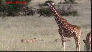 نبرد شترمرغ با پلنگ جهت نجات تخم هایش