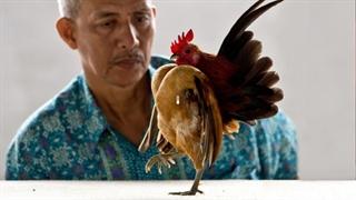 با کوچکترین و عجیب ترین نژاد مرغ دنیا آشنا شوید serama