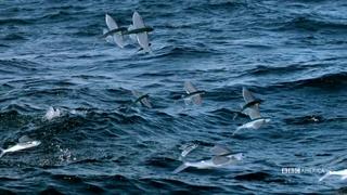 فرار ماهی های پرنده از شکارچیان هوایی و دریایی