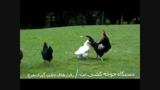 جفتگیری مرغ - رفتار های جفت گیری مرغ