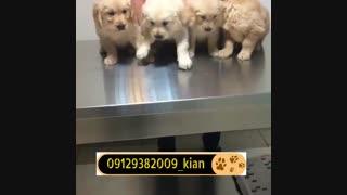 توله سگ گلدن رتریور وارداتی - Golden retriever puppy